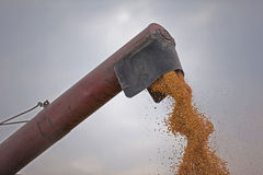 Pouring corn maize seeds. Combine harvester pouring corn maze seed Stock Photo