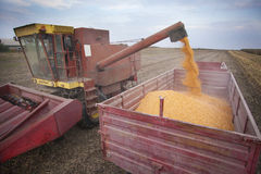 Pouring corn maize seeds. Combiner pours corn maize seeds in to tractor trailer Stock Photos