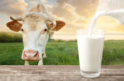 Pouring milk with cow. Milk from jug pouring into glass on table with cow on the meadow in the background. Glass of milk on wooden table. Closeup of cow muzzle royalty free stock photography