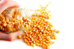 Pouring out corn from banks Stock Images