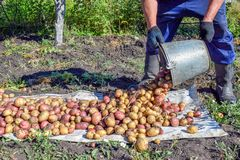 Pouring out potatoes from metal bucket at garden in autumn royalty free stock photography