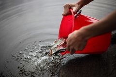 Pouring out small fish from a bucket stock photo