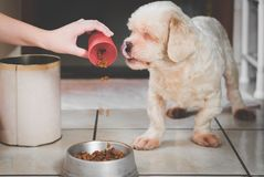 Pouring ration on the bowl for the dog. Starving white dog looking at the ration, seems delicious, dog licking it own lips with tongue out Royalty Free Stock Image