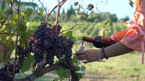 Pouring red wine over vineyards in Tuscany. Close up of woman pouring wine into a glass near bunches of red grapes. Tasting wine at family winery. Beautiful stock video