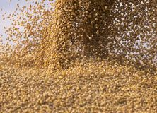 Pouring soy bean grain into tractor trailer after harvest royalty free stock photography