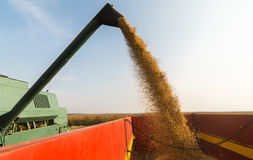 Pouring soy bean Stock Photography
