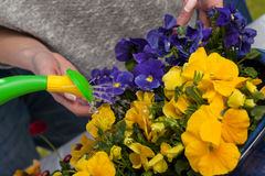 Pouring water on flowers Royalty Free Stock Images