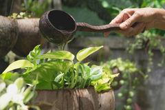 Pouring a young plant from watering can. Gardening and watering plants royalty free stock photos