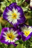 Pourpre avec l'Ipomoea blanc et jaune de gloire de matin photographie stock libre de droits