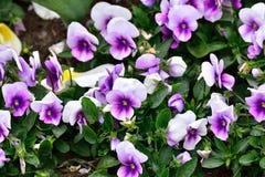 Pourpre avec les violettes blanches dans un jardin Photos libres de droits