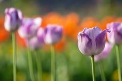 Pourpre coloré de champ de tulipe dans le jardin de botanique Image stock