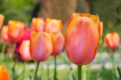 Pourpre coloré de champ de tulipe dans le jardin de botanique Images libres de droits