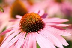 Pourpre d'Echinacea FLEUR SIMPLE Image libre de droits