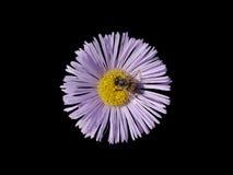 Pourpre d'Erigeron avec la fleur centrale jaune d'isolement sur le noir Images stock
