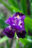 Pourpre d'IRIS dans le jardin Photographie stock libre de droits