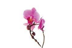 pourpre d'orchidée Photos libres de droits