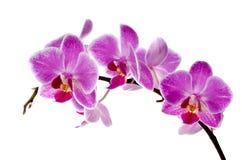 pourpre d'orchidée Photographie stock