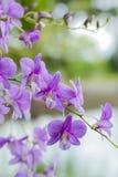 pourpre d'orchidée Image libre de droits