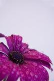 pourpre de fleur Photo libre de droits