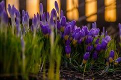 pourpre de fleur de ressort floraison dans le jardin les crocus Photographie stock