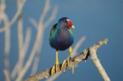 pourpre de la région des lacs de gallinule Image stock