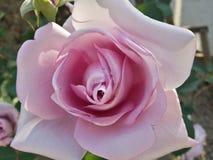 Pourpre de rose de fleur Image libre de droits