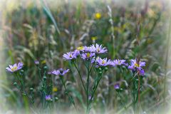 Pourpre de Wildflower photos stock