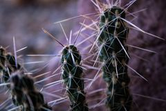 Pourpre et cactus vert image stock