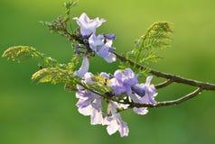 Pourpre, fleur de souhaiter l'arbre, bakeriana de casse Images libres de droits