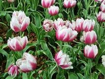 Pourpre mélangé blanc très beau dans le jardin photographie stock libre de droits