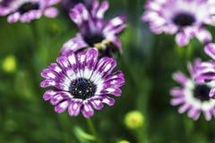 Pourpre une fleur blanche Image libre de droits