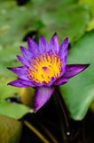 Pourpre waterlily Image libre de droits