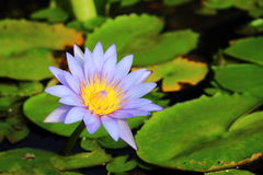 Pourpre waterlily Photographie stock libre de droits