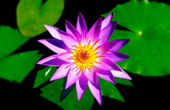 Pourpre waterlily Images stock