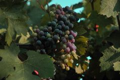 Pourpres et verts de la Californie de raisins de Napa Valley image stock