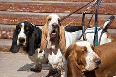 Poursuit le chien de basset sur une laisse Image libre de droits