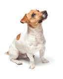 Poursuit le chiot d'isolement sur le fond blanc Chien terrier de Jack Russell Photos stock