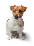Poursuit le chiot sur le fond blanc Chien terrier de Jack Russell Images stock