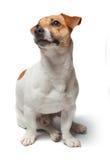 Poursuit le chiot sur le fond blanc Chien terrier de Jack Russell Images libres de droits