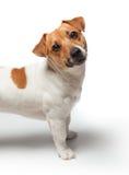Poursuit le chiot sur le fond blanc Chien terrier de Jack Russell Image stock