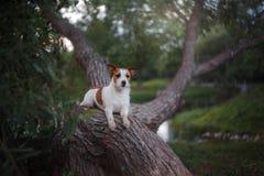 Poursuivez dehors dans un arbre dehors, race Jack Russell Terrier Photos libres de droits