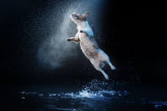 Poursuivez Jack Russell Terrier, chiens jouent, sautent, courent, se déplacent dans l'eau photographie stock libre de droits