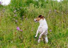 Poursuivez jouer en haute herbe verte et fleurs se tenant sur les jambes de derrière Photographie stock libre de droits