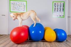 Poursuivez l'équilibrage au-dessus de la boule gonflable dans la physiothérapie photos libres de droits