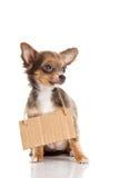 Poursuivez l'animal familier de chiwawa avec l'annonce d'isolement sur le fond blanc Image libre de droits