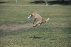 Poursuivez l'entre le ciel et la terre contagieux de frisbee dans le concours canin de frisbee, Westwood, Los Angeles, CA Photos stock
