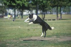 Poursuivez l'entre le ciel et la terre contagieux de frisbee dans le concours canin de frisbee, Westwood, Los Angeles, CA Images libres de droits