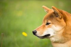 Poursuivez l'inu de shiba se situant dans l'herbe avec un exercice ne se déplaçant pas photos libres de droits