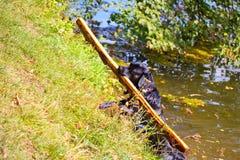 Poursuivez la race Labrador sur la plage avec un bâton dans sa bouche Photos stock