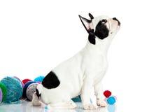Poursuivez le bouledogue français avec des threadballs d'isolement sur le fond blanc Images stock